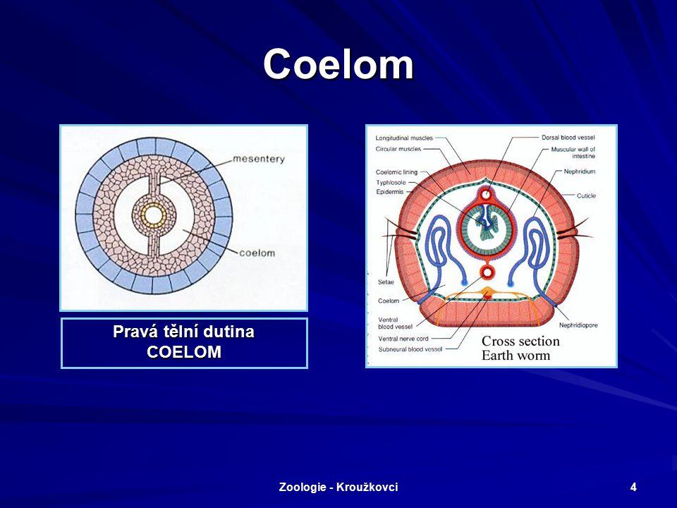 Zoologie - Kroužkovci 3 Tělesná stavba – zárodečné listy 1. Třetí zárodečný list: Mezoderm 2. Tělní dutina: Coelom 3. Trojlistí: Triblastica a)Ektoder