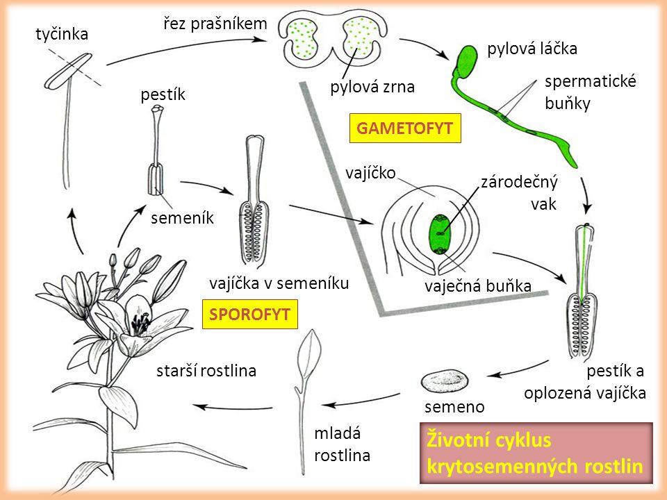 mladá rostlina starší rostlina tyčinka řez prašníkem pylová láčka spermatické buňky pestík semeník vajíčka v semeníku vajíčko vaječná buňka zárodečný