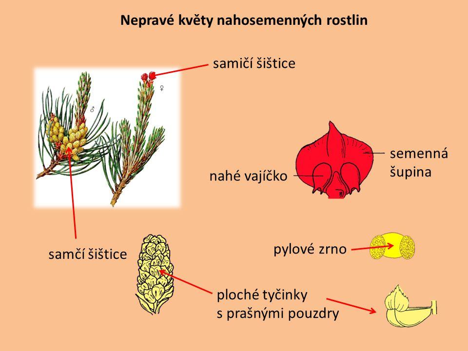 Nepravé květy nahosemenných rostlin samčí šištice ploché tyčinky s prašnými pouzdry pylové zrno semenná šupina nahé vajíčko samičí šištice