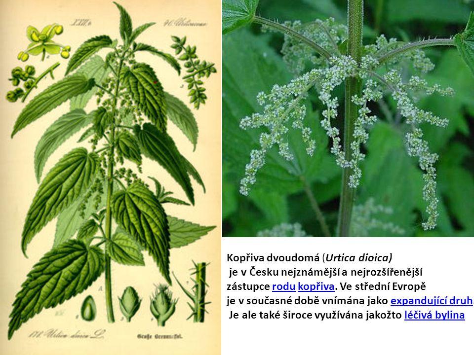Kopřiva dvoudomá (Urtica dioica) je v Česku nejznámější a nejrozšířenější zástupce rodu kopřiva.