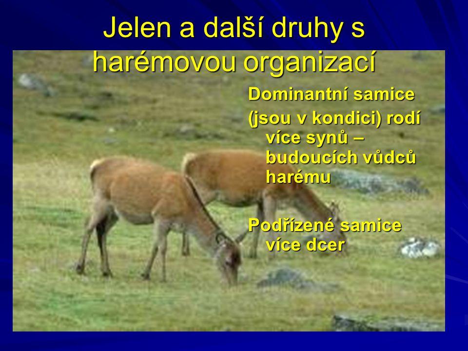 Jelen a další druhy s harémovou organizací Dominantní samice (jsou v kondici) rodí více synů – budoucích vůdců harému Podřízené samice více dcer