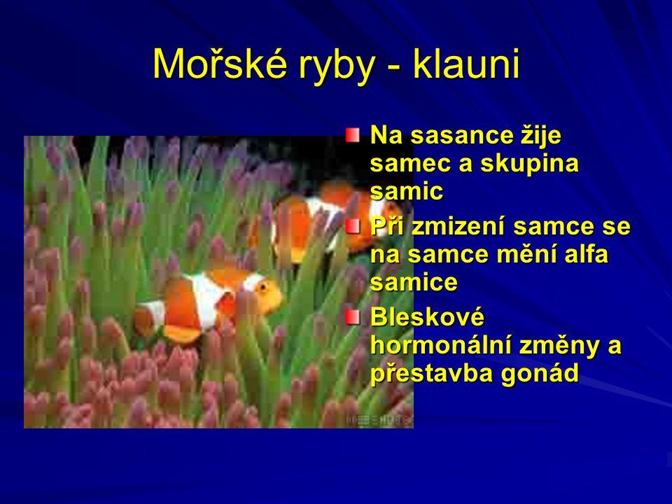 Mořské ryby - klauni Na sasance žije samec a skupina samic Při zmizení samce se na samce mění alfa samice Bleskové hormonální změny a přestavba gonád