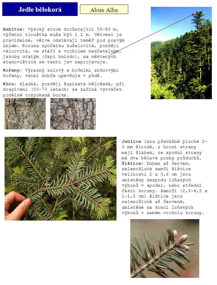 Jedle bělokorá Abies Alba Habitus: Vysoký strom dorůstající 55-60 m, výčetní tloušťka muže být i 2 m. Větvení je pravidelné, větve odstávají téměř pod