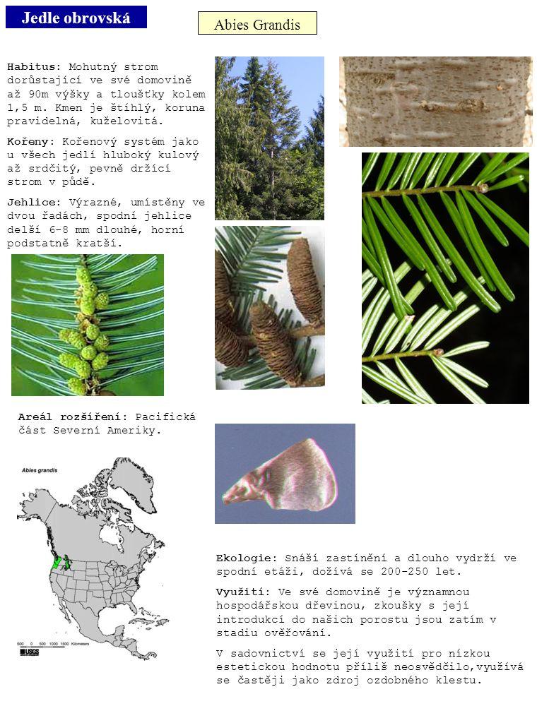 Jedle obrovská Abies Grandis Habitus: Mohutný strom dorůstající ve své domovině až 90m výšky a tloušťky kolem 1,5 m. Kmen je štíhlý, koruna pravidelná