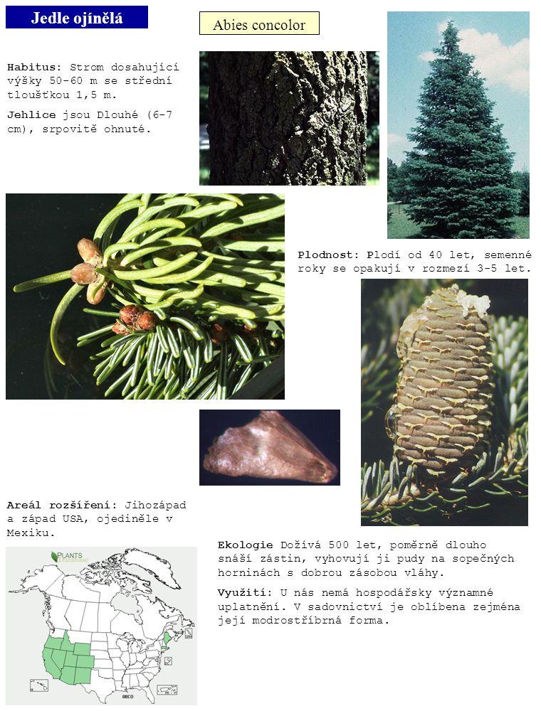 Jedle ojínělá Abies concolor Habitus: Strom dosahující výšky 50-60 m se střední tloušťkou 1,5 m. Jehlice jsou Dlouhé (6-7 cm), srpovitě ohnuté. Plodno