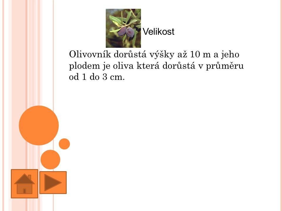 Velikost Olivovník dorůstá výšky až 10 m a jeho plodem je oliva která dorůstá v průměru od 1 do 3 cm.