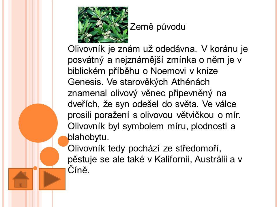 Země původu Olivovník je znám už odedávna.