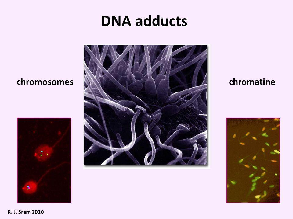 DNA adducts chromosomeschromatine R. J. Sram 2010