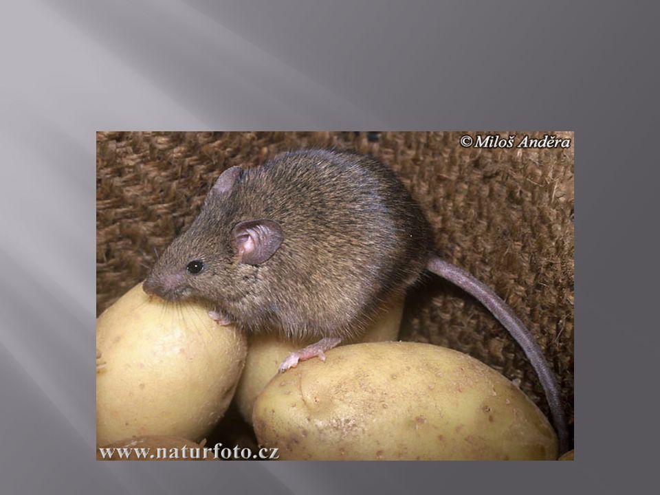  Za to, že odolala zatím všem pokusům o vyhubení, vděčí myš domácí kromě své vynikající přizpůsobivosti také neobyčejně vysoké plodnosti.