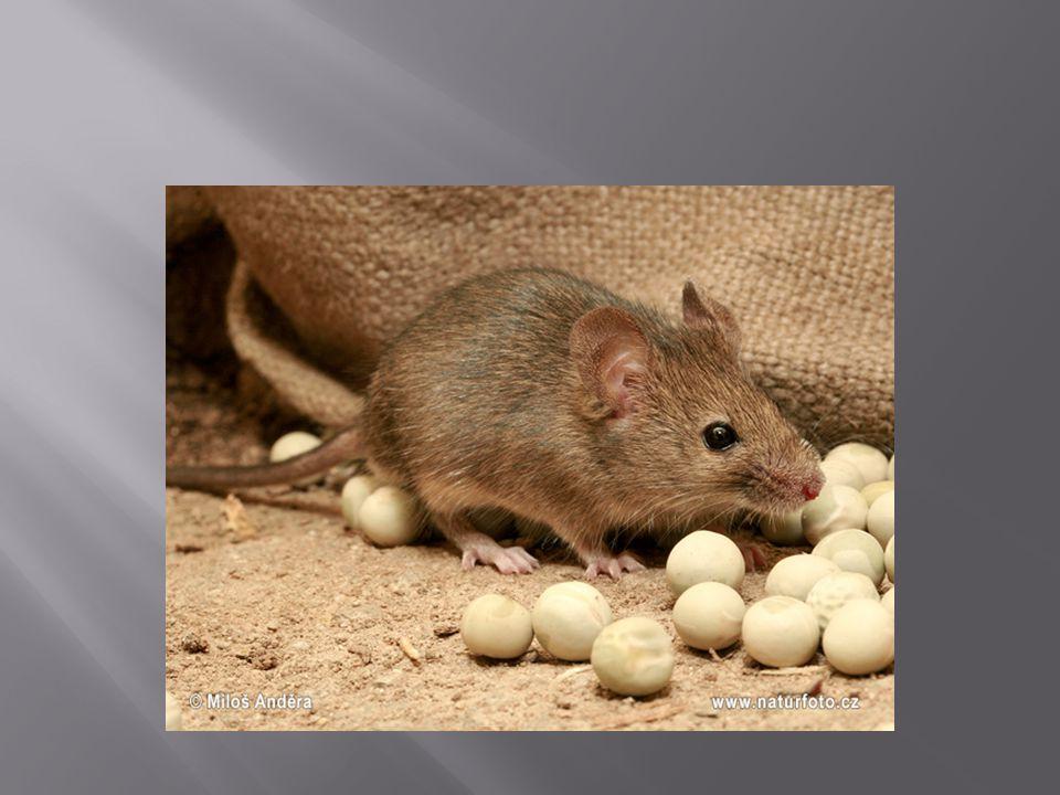  Myš domácí je převážně noční zvíře, které se za potravou vydává za soumraku nebo v noci.