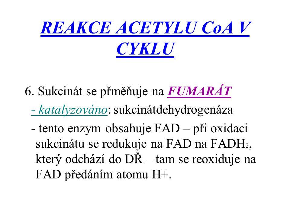 REAKCE ACETYLU CoA V CYKLU 6. Sukcinát se přměňuje na FUMARÁT - katalyzováno: sukcinátdehydrogenáza - tento enzym obsahuje FAD – při oxidaci sukcinátu