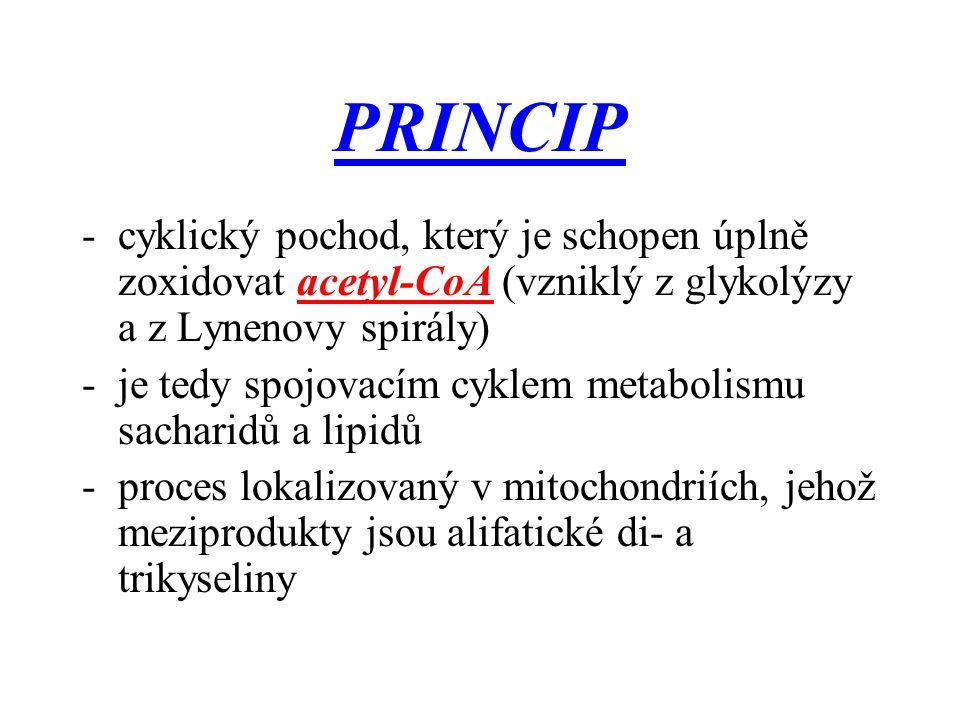 PRINCIP -cyklický pochod, který je schopen úplně zoxidovat acetyl-CoA (vzniklý z glykolýzy a z Lynenovy spirály) -je tedy spojovacím cyklem metabolism