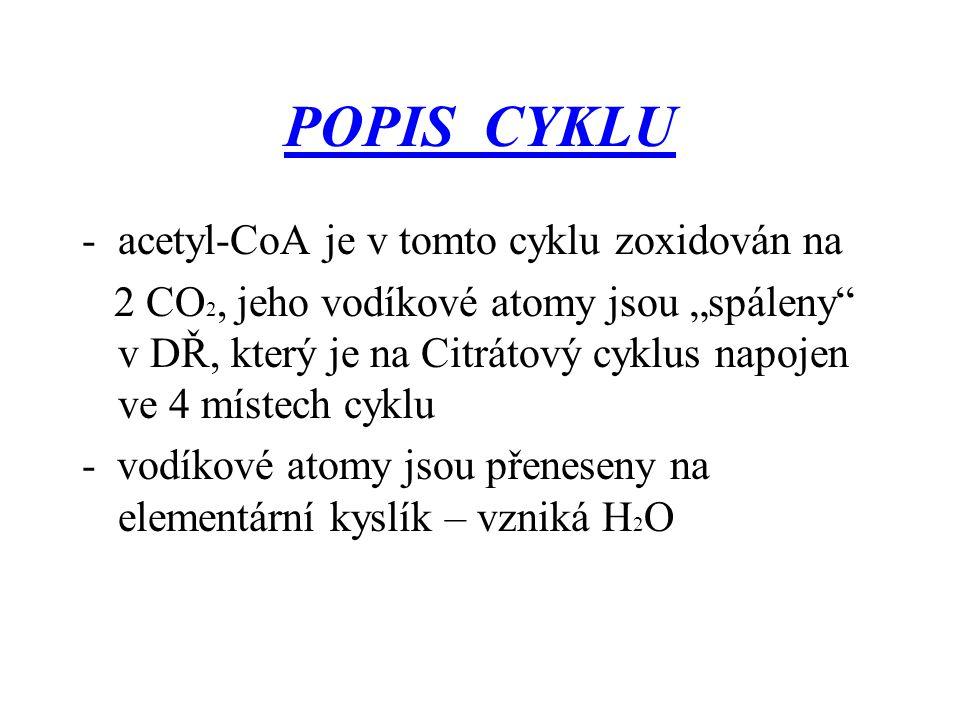 """POPIS CYKLU -acetyl-CoA je v tomto cyklu zoxidován na 2 CO 2, jeho vodíkové atomy jsou """"spáleny"""" v DŘ, který je na Citrátový cyklus napojen ve 4 míste"""