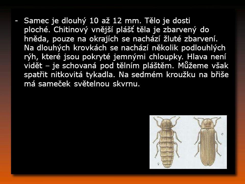-Samec je dlouhý 10 až 12 mm.Tělo je dosti ploché.