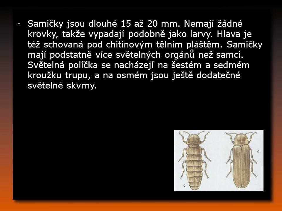 -Samičky jsou dlouhé 15 až 20 mm. Nemají žádné krovky, takže vypadají podobně jako larvy. Hlava je též schovaná pod chitinovým tělním pláštěm. Samičky