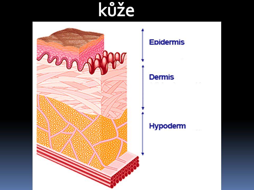 POVRCH TĚLA Kůže:  POKOŽKA – obsahuje pigment - způsobuje zbarvení kůže, chrání ji před UV zářením v pokožce prstů – typické rýhy = otisky prstů  ŠKÁRA – nacházejí se zde: ‐ vlasy, chlupy a nehty ‐ potní žlázy - vylučují pot, ochlazují tělo - mazové žlázy - promašťují kůži, vlasy a chlupy - cévy - regulují průtokem krve teplotu těla - hmatová tělíska + čidla pro vnímání teploty - volná nervová zakončení - vnímají bolest  PODKOŽNÍ VAZIVO – obsahuje tukové buňky - zásoba energie a tepelná izolace- a tělíska pro vnímání tlaku
