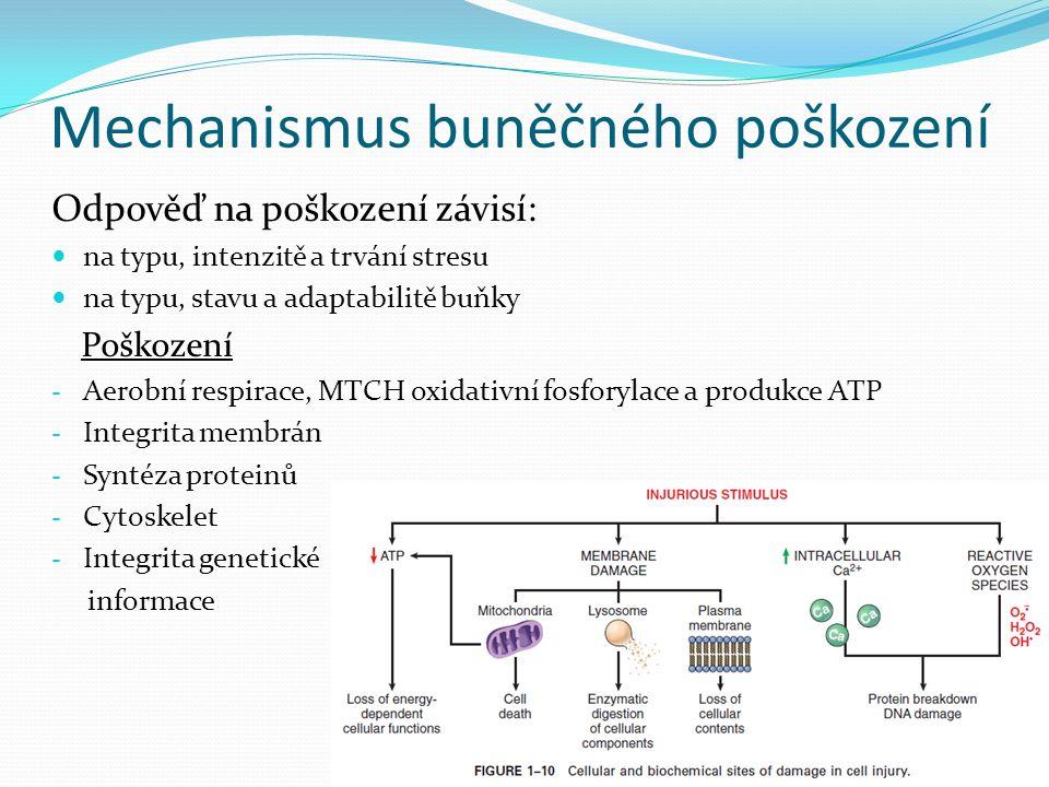Mechanismus buněčného poškození Odpověď na poškození závisí: na typu, intenzitě a trvání stresu na typu, stavu a adaptabilitě buňky Poškození - Aerobn
