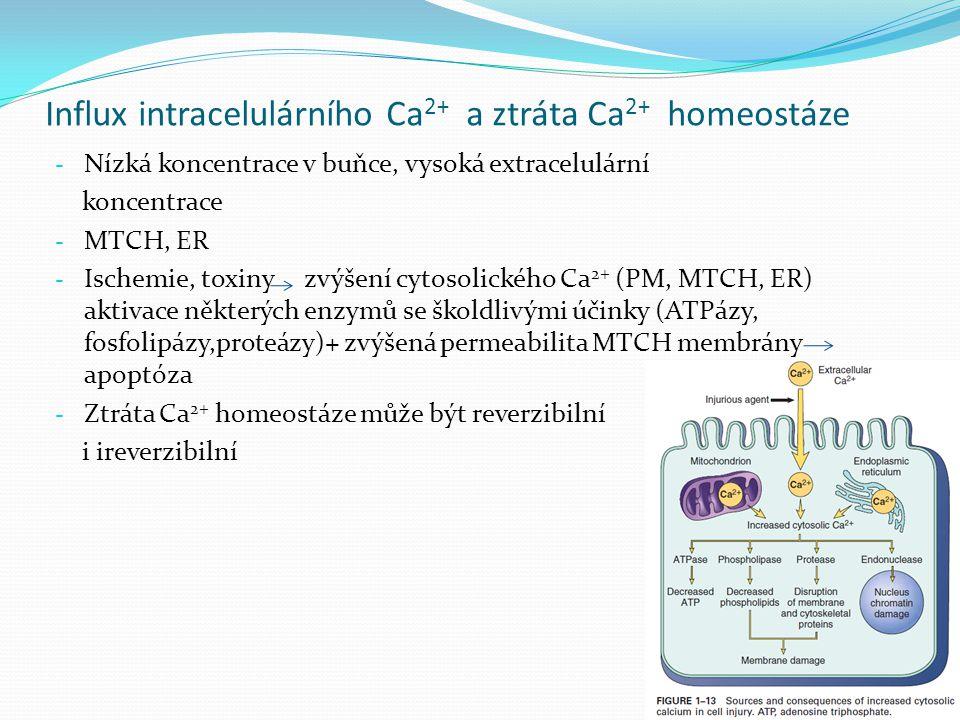 Influx intracelulárního Ca 2+ a ztráta Ca 2+ homeostáze - Nízká koncentrace v buňce, vysoká extracelulární koncentrace - MTCH, ER - Ischemie, toxiny z
