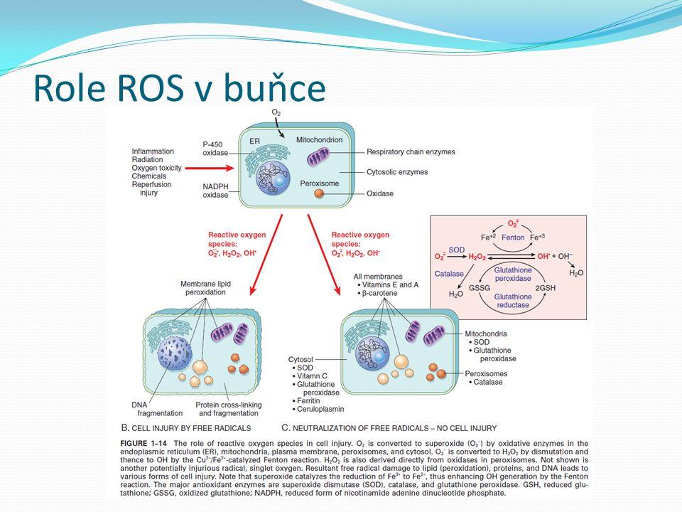 Defekty permeability membrány Rysem mnoha typů buněčného poškození MTCH membrána, PM, další membrány Toxiny, virové proteiny, ischemie… Biochemické mechanismy vedoucí poškození membrány - Nefunkční MTCH snížení syntézy fosfolipidů a akumulace volných mastných kyselin - Ztráta membránových fosfolipidů -aktivace fosfolipáz vlivem zvýšení Ca 2+ v cytosolu - Abnormality cytoskeletu- vlivem zvýšení Ca 2+ v cytosolu aktivace proteáz porušení, odtržení cytoskeletu náchylnost PM k roztržrní - ROS - Poškozené lipidové částice – acyl karnitin, lysofosfolipidy, účinek jako detergenty, vmezeřují se do fosfolipidové dvojvrstvy a způsobují změny permeability ztráta osmotické rovnováhy, influx tekutin a iontů stejně jako ztráta proteinů, enzymů, RNA, ATP poškození lysozomů (enzymy RNázy, DNázy, proteázy, fosfatázy, katepsiny) enzymatické štěpení buněčných komponent … nekróza