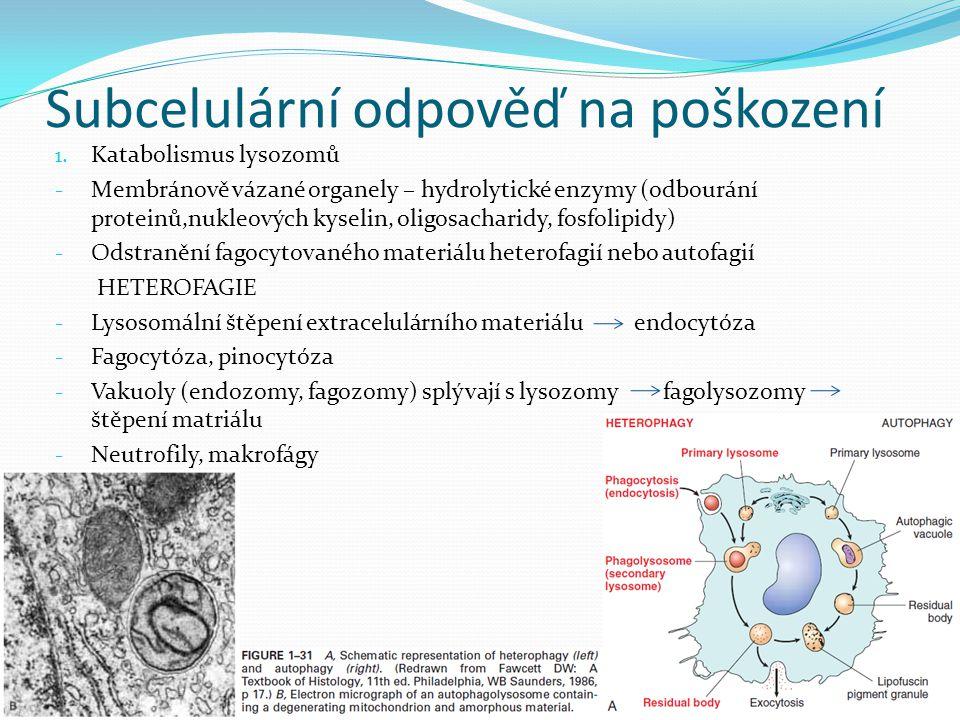 Subcelulární odpověď na poškození 1. Katabolismus lysozomů - Membránově vázané organely – hydrolytické enzymy (odbourání proteinů,nukleových kyselin,