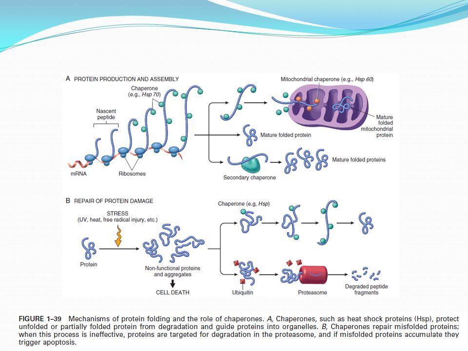 Hyalin - Intracelulární: histologické označení mnoha typů hromadění proteinů (Russelova tělíska, Malloryho tělíska (šipka) způsobená alkoholem v hepatocytech) - Extracelulární - Polysacharid- zásoba energie v cytoplazmě - Zvýšené ukládání při poruše metabolismu glukózy či glykogenu - Vakuoly v cytoplazmě - Diabetes mellitus a jiné genetické choroby (glykogen storage diseases -defekty enzymů) Glykogen