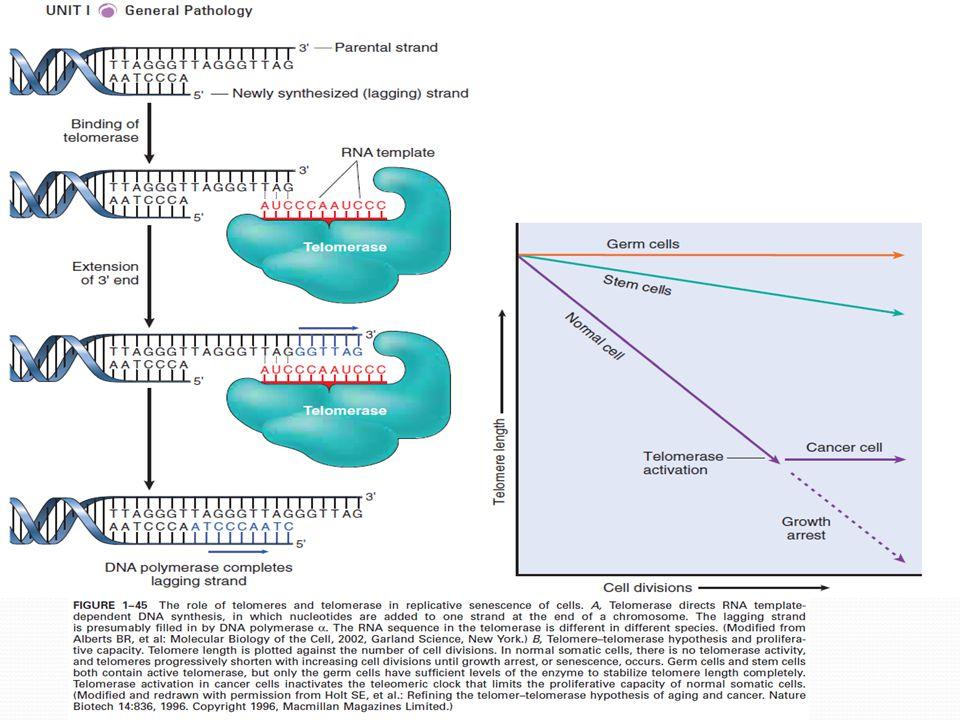 Hromadění metabolických a genetických změn Stárnutí může být podmíněno buněčným poškozením vyplývajícím z metabolických událostí Menší zvířata kratší život rychlejší metabolismus Množství oxidativního stresu ROS, lipofuscin Délka života koreluje se zvýšeným množstvím SOD a sníženým množstvím SO Poškození DNA oprava opravnými systémy buňky x některé se hromadí Wernerův syndrom (porucha helikázy), Ataxia telangiectasia(porucha opravného mechanismu)