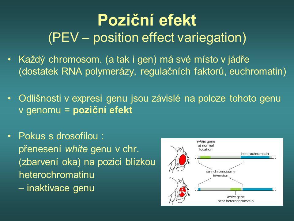 Poziční efekt (PEV – position effect variegation) Každý chromosom. (a tak i gen) má své místo v jádře (dostatek RNA polymerázy, regulačních faktorů, e
