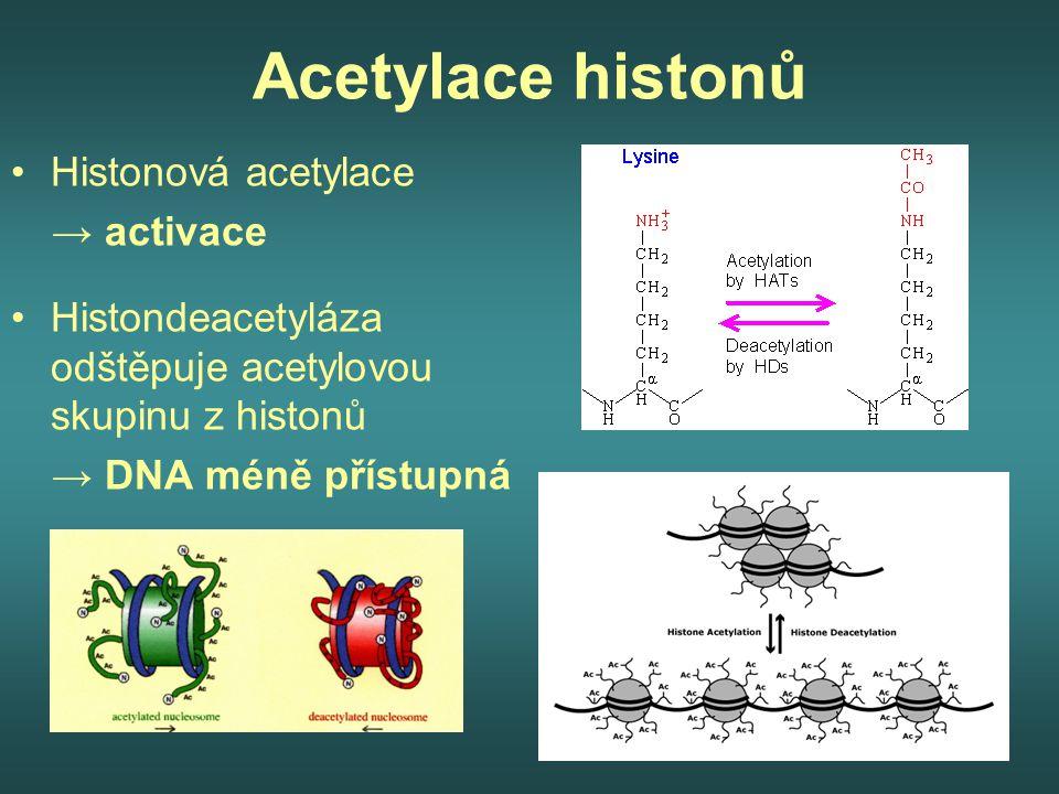 Acetylace histonů Histonová acetylace → activace Histondeacetyláza odštěpuje acetylovou skupinu z histonů → DNA méně přístupná