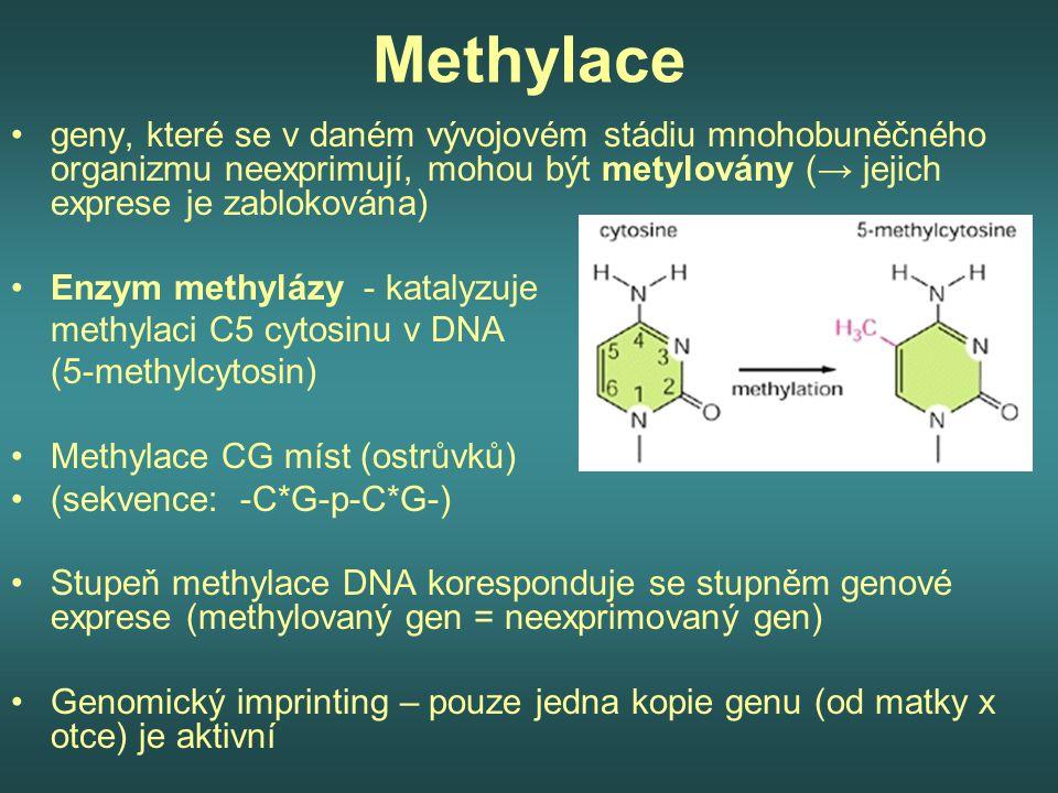Methylace geny, které se v daném vývojovém stádiu mnohobuněčného organizmu neexprimují, mohou být metylovány (→ jejich exprese je zablokována) Enzym m