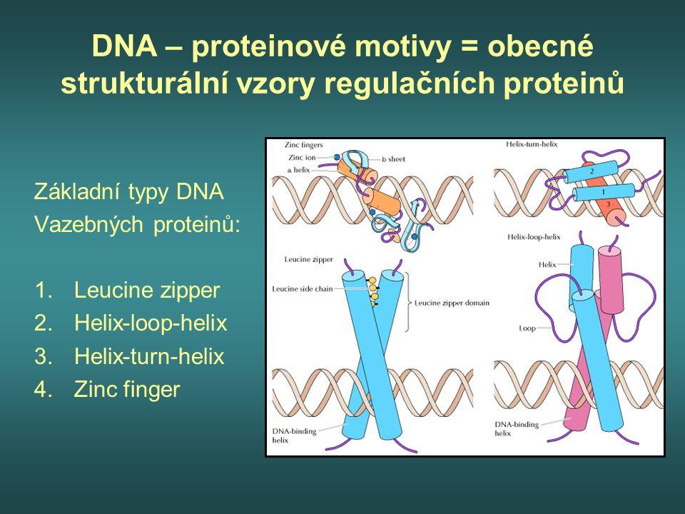 DNA – proteinové motivy = obecné strukturální vzory regulačních proteinů Základní typy DNA Vazebných proteinů: 1.Leucine zipper 2.Helix-loop-helix 3.H