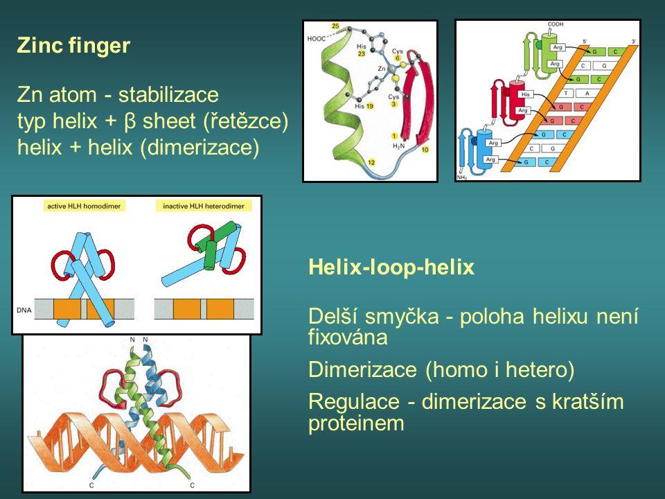 Zinc finger Zn atom - stabilizace typ helix + β sheet (řetězce) helix + helix (dimerizace) Helix-loop-helix Delší smyčka - poloha helixu není fixována
