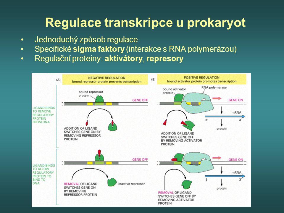 Regulace transkripce u prokaryot Jednoduchý způsob regulace Specifické sigma faktory (interakce s RNA polymerázou) Regulační proteiny: aktivátory, rep