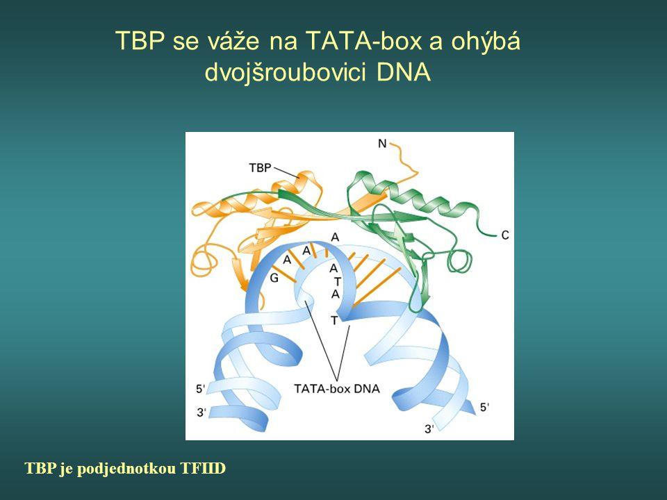 TBP se váže na TATA-box a ohýbá dvojšroubovici DNA TBP je podjednotkou TFIID