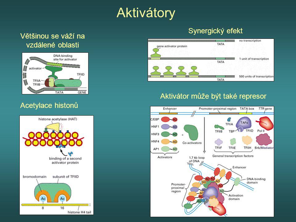 Aktivátory Většinou se váží na vzdálené oblasti Synergický efekt Acetylace histonů Aktivátor může být také represor