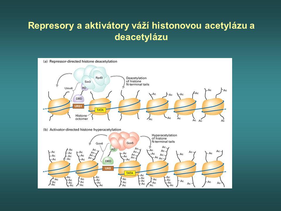 Represory a aktivátory váží histonovou acetylázu a deacetylázu