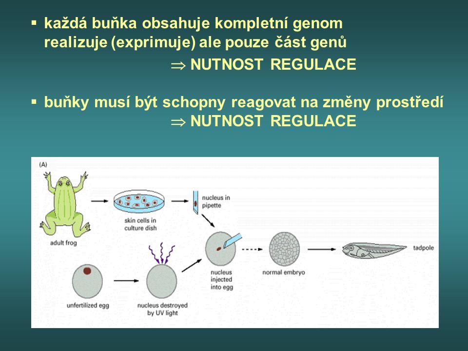  každá buňka obsahuje kompletní genom realizuje (exprimuje) ale pouze část genů  NUTNOST REGULACE  buňky musí být schopny reagovat na změny prostře