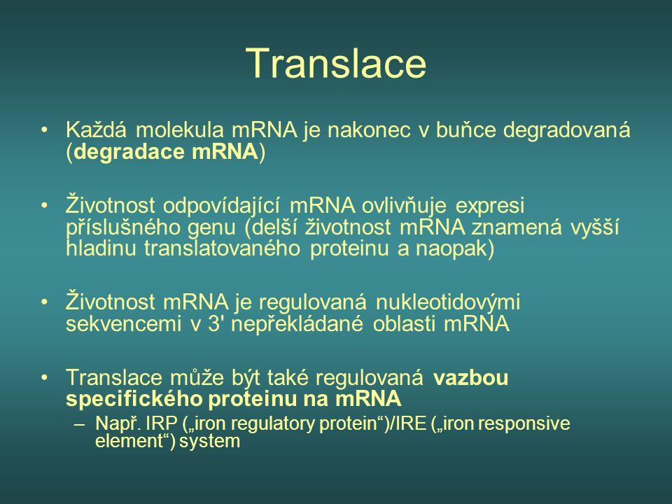 Translace Každá molekula mRNA je nakonec v buňce degradovaná (degradace mRNA) Životnost odpovídající mRNA ovlivňuje expresi příslušného genu (delší ži