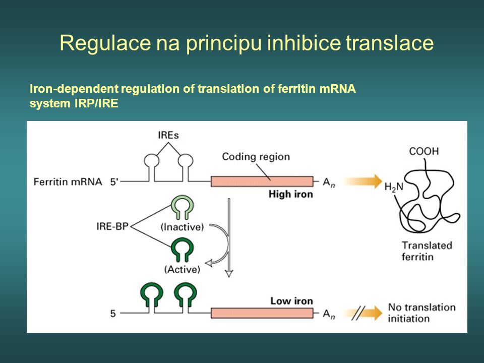 Regulace na principu inhibice translace Iron-dependent regulation of translation of ferritin mRNA system IRP/IRE