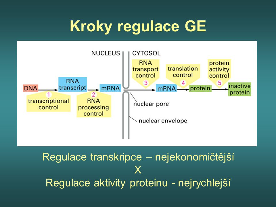 Regulační DNA sekvence – nezbytné pro zapnutí nebo vypnutí transkripce prokaryota – 10 nukleotidových párů krátké (jediný signál) eukaryota – 10 000 nukleotidových párů vzdálené (mikroprocesory) Genové regulační proteiny –vazba na regulační DNA sekvence  Kombinace DNA sekvencí a jejich asociace s proteinovými molekulami působí jako spínač, který kontroluje transkripci  Kontakt = jeden pár bází, který je spojen nekovalentní vazbou s aminokyselinou  Regulační protein obsahuje 10-20 takových specifických kontaktů  DNA – proteinové motivy = obecné strukturální vzory regulačních proteinů