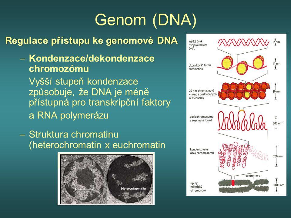 Genom (DNA) Regulace přístupu ke genomové DNA –Kondenzace/dekondenzace chromozómu Vyšší stupeň kondenzace způsobuje, že DNA je méně přístupná pro tran