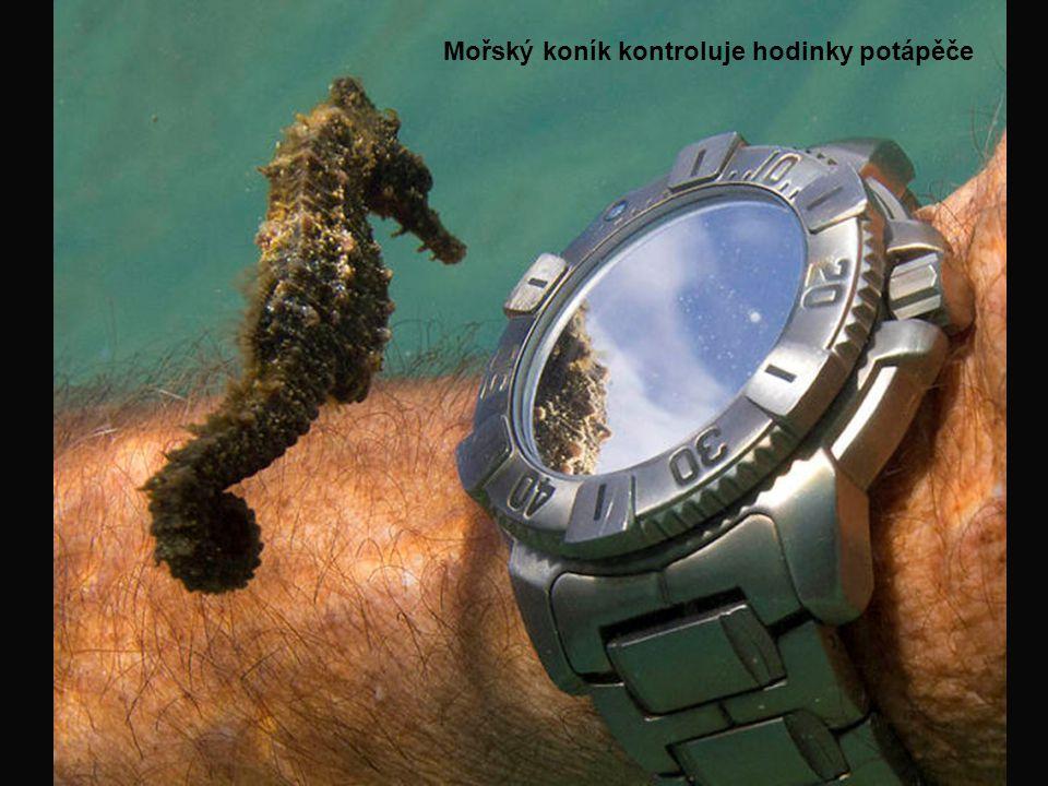 Mořský koník kontroluje hodinky potápěče