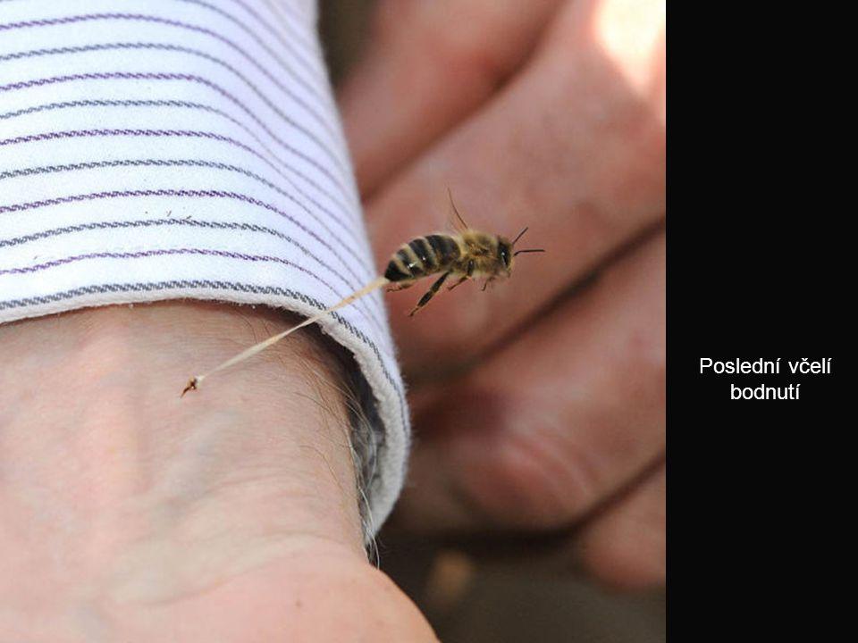 Poslední včelí bodnutí