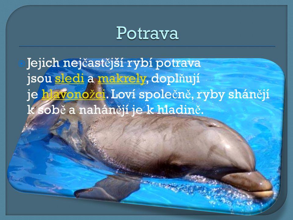  Práv ě tento druh delfína se objevuje na starov ě kých malbách a mozaikách.