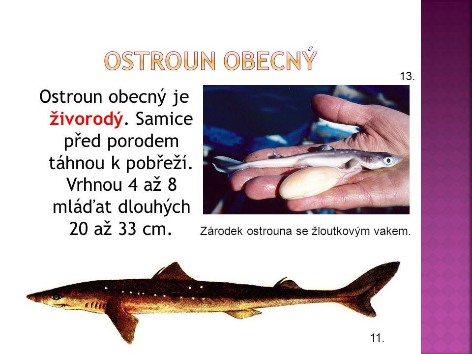  Žije v Atlantiku. Měří cca 1,5 metru.  Dožívá se 25 let.