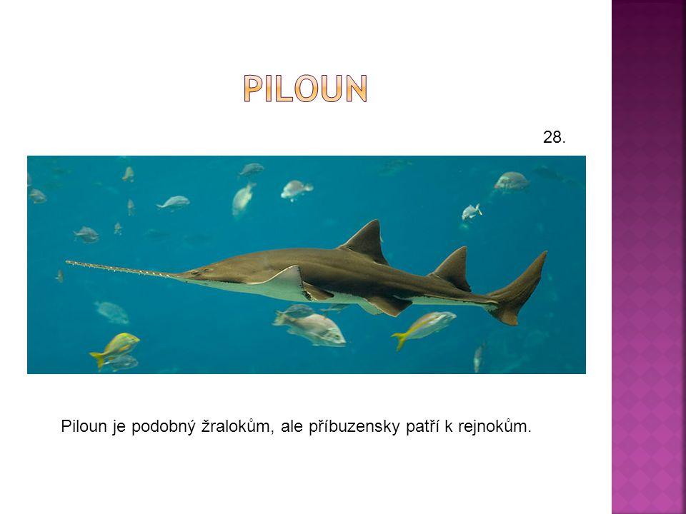  Pilouni jsou paryby dosahující cca 5 m.