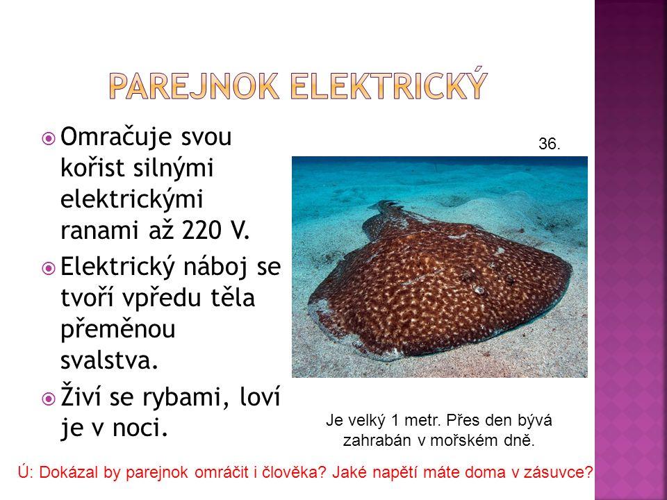 Piloun je podobný žralokům, ale příbuzensky patří k rejnokům. 28.