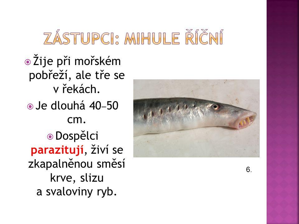  Žije při mořském pobřeží, ale tře se v řekách. Je dlouhá 40 ‒ 50 cm.