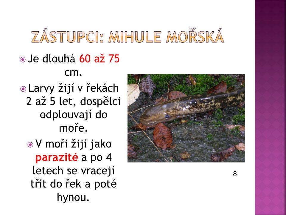  Je dlouhá 60 až 75 cm. Larvy žijí v řekách 2 až 5 let, dospělci odplouvají do moře.