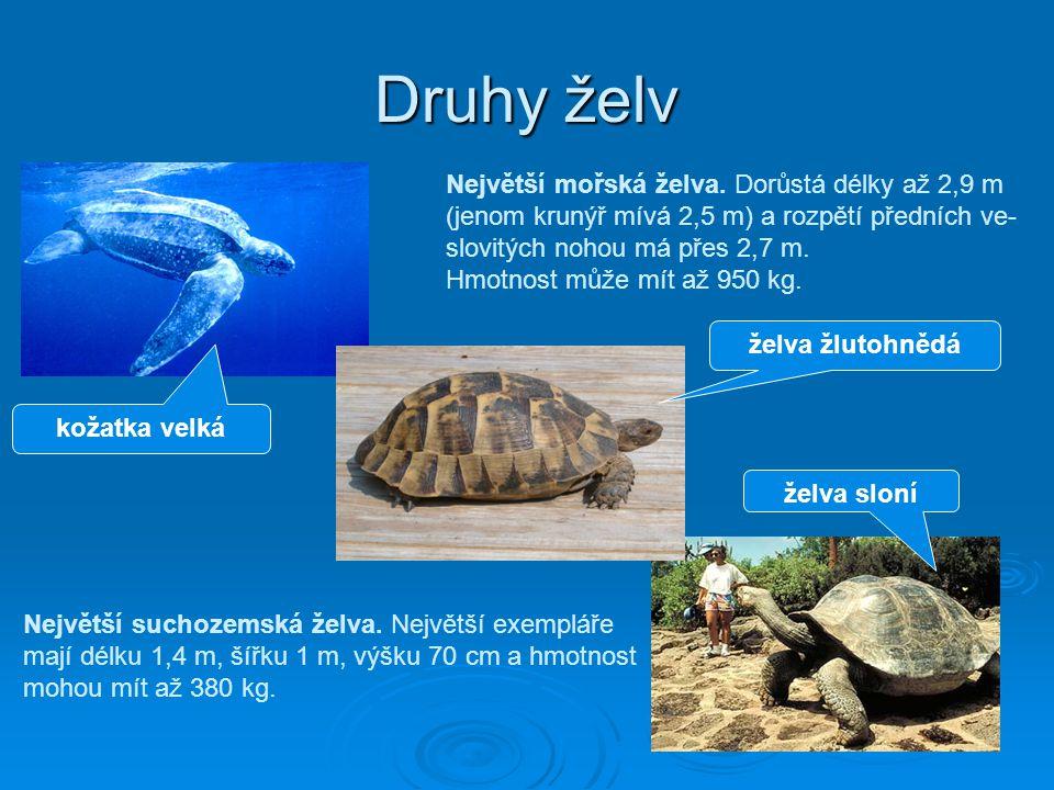 Druhy želv Největší mořská želva. Dorůstá délky až 2,9 m (jenom krunýř mívá 2,5 m) a rozpětí předních ve- slovitých nohou má přes 2,7 m. Hmotnost může