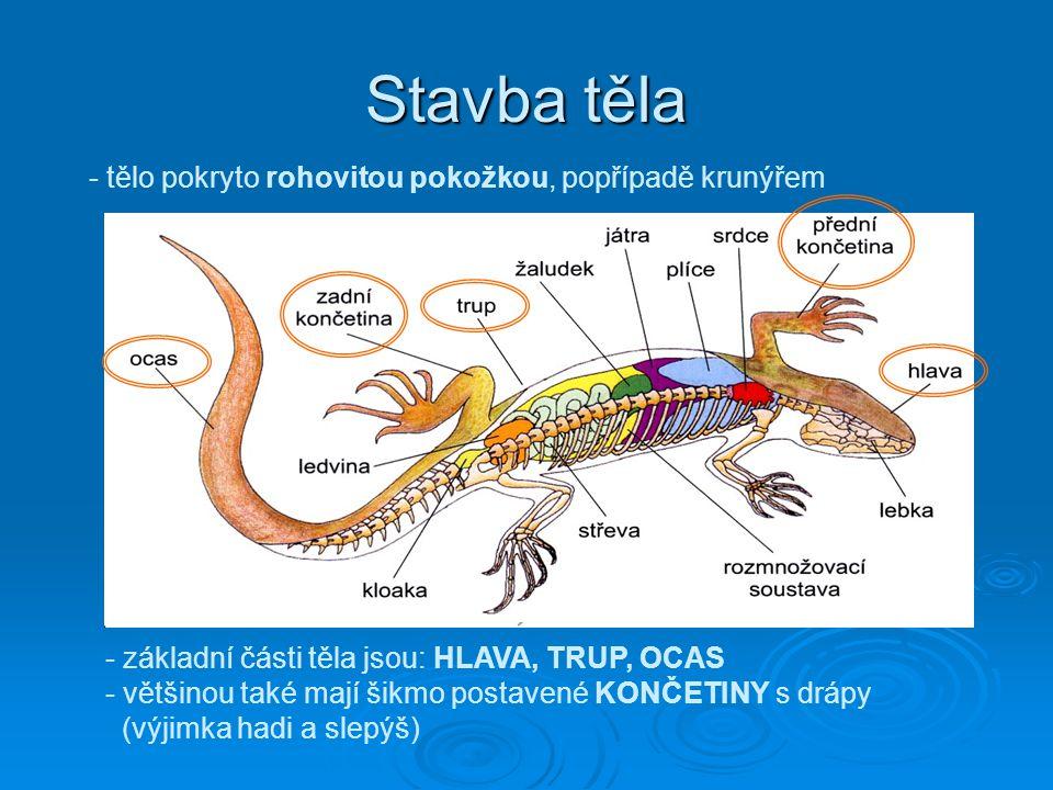 Stavba těla - tělo pokryto rohovitou pokožkou, popřípadě krunýřem - základní části těla jsou: HLAVA, TRUP, OCAS - většinou také mají šikmo postavené K